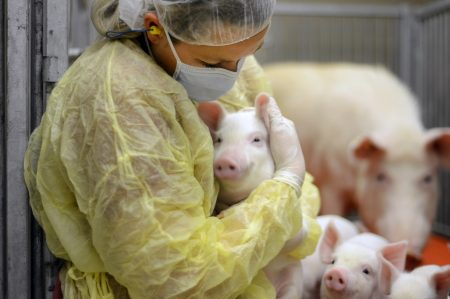Research pigs with caretaker