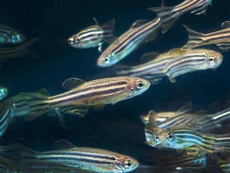 zebrafish-1