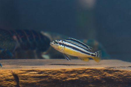 50818071 - zebra fish