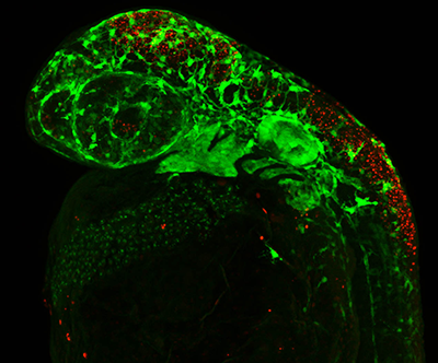 Cell death (labeled in red) within the neural crest cell progenitor population results in a reduced population of neural crest cells (labeled in green) in a polr1d mutant zebrafish embryo. Photo Credit: Courtesy of Trainor Lab.