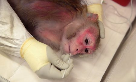 Saliva is taken from a pregnant rhesus macaque monkey infected with Zika at the Wisconsin National Primate Research Center in the US. Photograph: Scott Olson/Getty Images