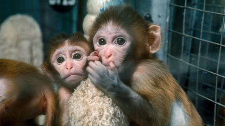Rhesus macaques used in anxiety studies at an NIH lab. Photo: Sciencemag.org