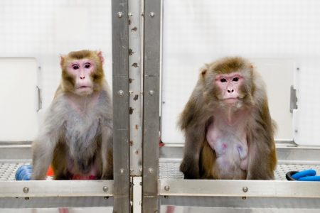 A 2009 image of rhesus monkeys in a landmark study of the benefits of caloric restriction. The 27-year-old monkey on the left was given a diet with fewer calories while the 29-year-old monkey on the right was allowed to eat as much as it liked. Both animals have since died of natural causes. Photo credit: Jeff Miller