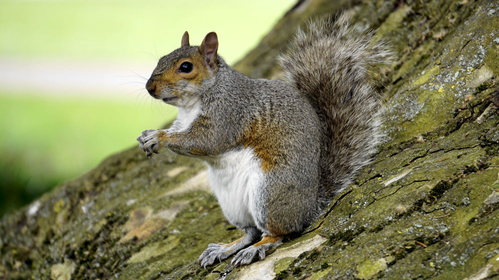 hibernating ground squirrels provide clues to new stroke